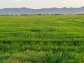 Reisfelder 2