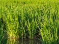 Reisfelder Reis
