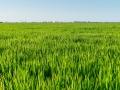 Reisfelder grüner Reis