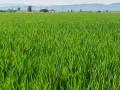 Ebro-Delta Reisfelder