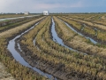 abgeerntetes Reisfelder