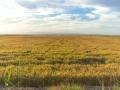 gelbe Reisfelder 2