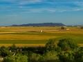 gelbe Reisfelder